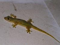 En gekko i taket.